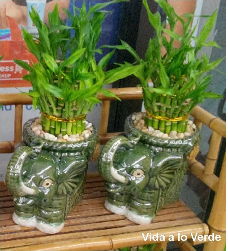 Como plantar bambu de la suerte en maceta casa dise o - Bambu cuidados en maceta ...