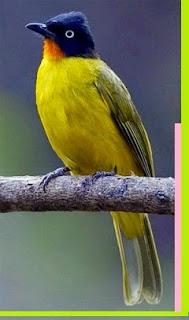 Sekilas Tentang Kutilang Emas  Kutilang emas memiliki kepala hitam dan warna merah delima pada bulu-bulu tenggorokan. Namun pada ras montis, warna bulu tenggorokan bukan merah, melainkan kuning. Selebihnya, karakteristik pada kedua ras ini sama.     Tubuh bagian atas berwarna hijau zaitun, sedangkan bagian bawah kuning terang yang mempesona. Iris matanya putih tegas, nggak kalah sama lovebird klep (he…he…). Paruh dan kaki berwarna hitam. Kutilang emas Pemalu, tapi rajin bunyi.  Burung Kutilang Emas Menyebar luas di India, Cina Selatan, Asia Tenggara, Sumatra, kalimantan dan Jawa. Umum di temukan di dataran rendah dan perbukitan Sumatara sampai ketinggian 1.200m. Di jawa, lebih umum di temukan di Jawa bagian barat dan bagian selatan, dihutan dataran rendah hingga ketinggian 1.500 m dari permukaan laut. Di Kalimatan, lebih umum di gunung-gung, dari G. Kinabalu, Kayan hulu hingga Liang Kubung.