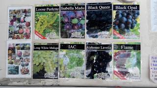 sweet grape,anggur manis,anggur perak,lokasi ladang anggur perak