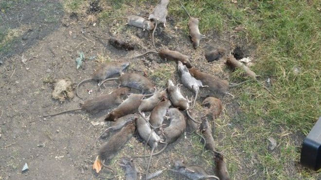 Lassa Fever Outbreak: Lagos State Says It Killed 4,400 Rats In One Night - Do You Agree?