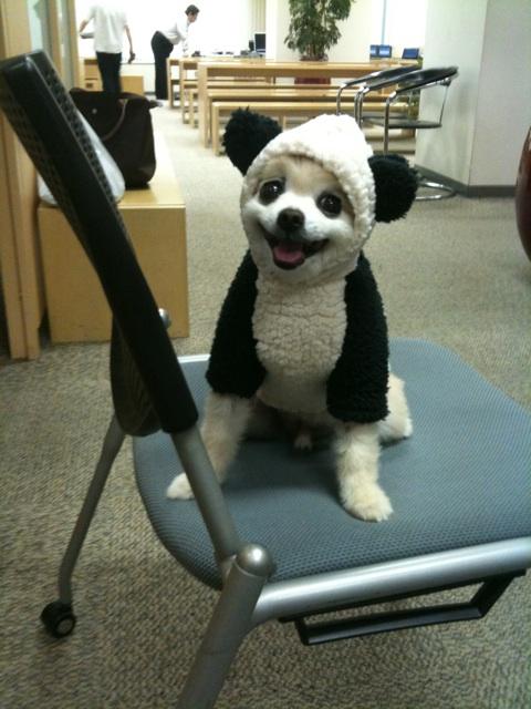 panda dog