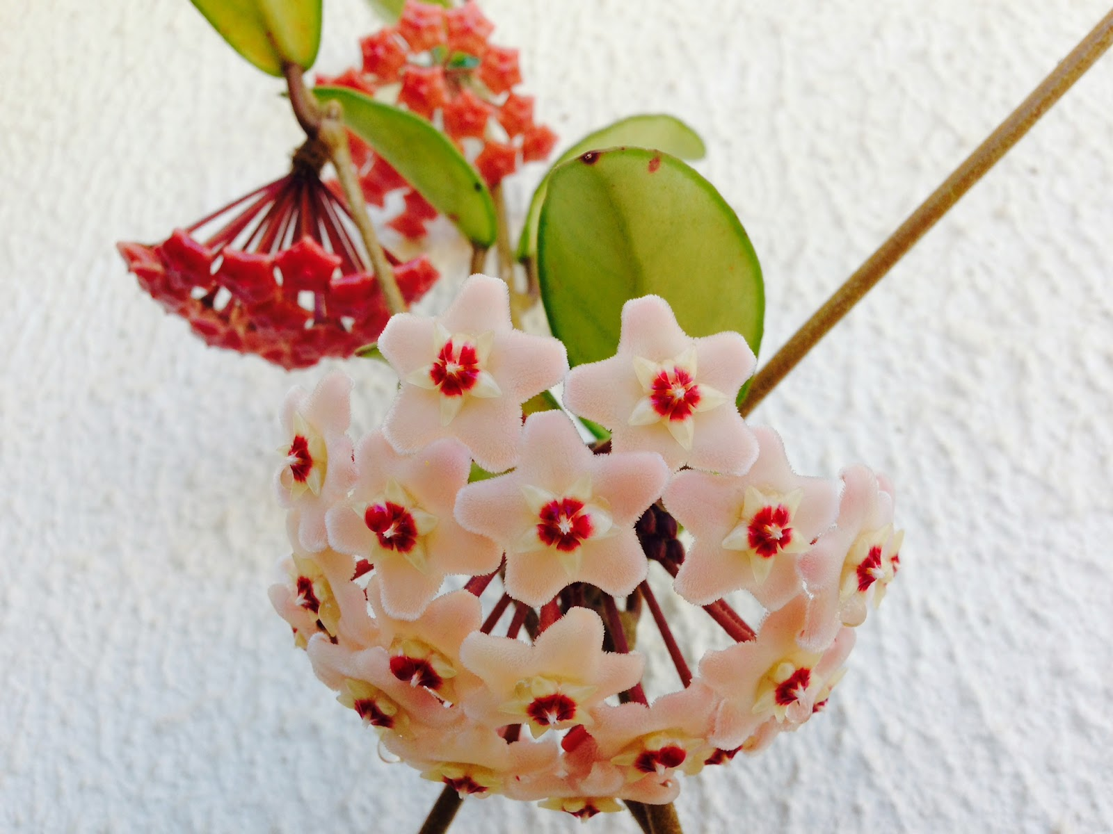 A flor de cera hoya carnosa uma planta diferente a - Plantas pequenas de interior ...