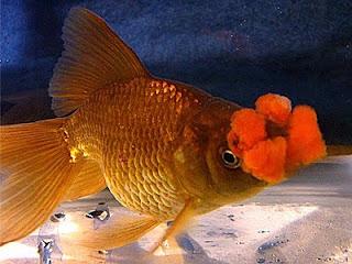 pompom-goldenfish