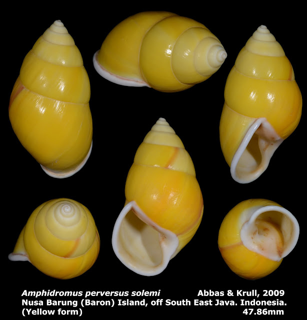 Amphidromus perversus solemi 47.86mm (Yellow form)