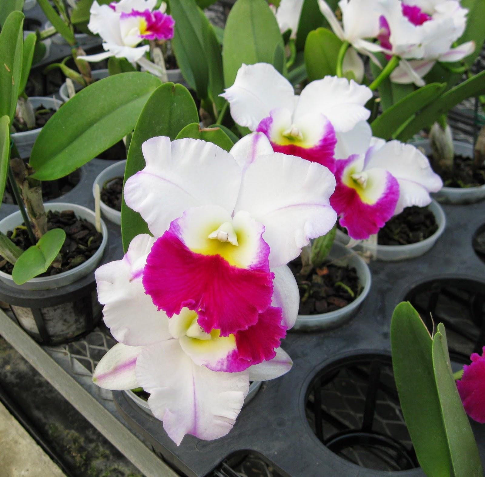 Blc. Mem. Anna Balmores orchid flowers