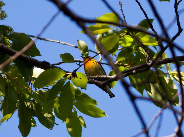 Blackburnian Warbler - New York, America