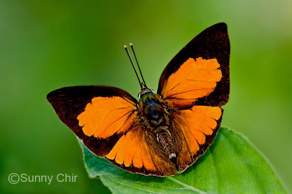 Physical Description of Adult Butterfly: Above, the wings are bright orange ...