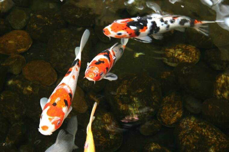 Wallpapers unlimited japanese colorful koi fish for Colorful pond fish