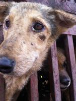 China: ativistas jogam o carro em frente a um caminhão que levava cães para o matadouro