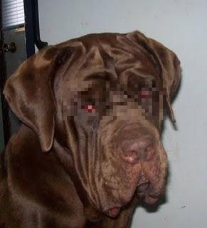 Neo, the ultimate mastiff