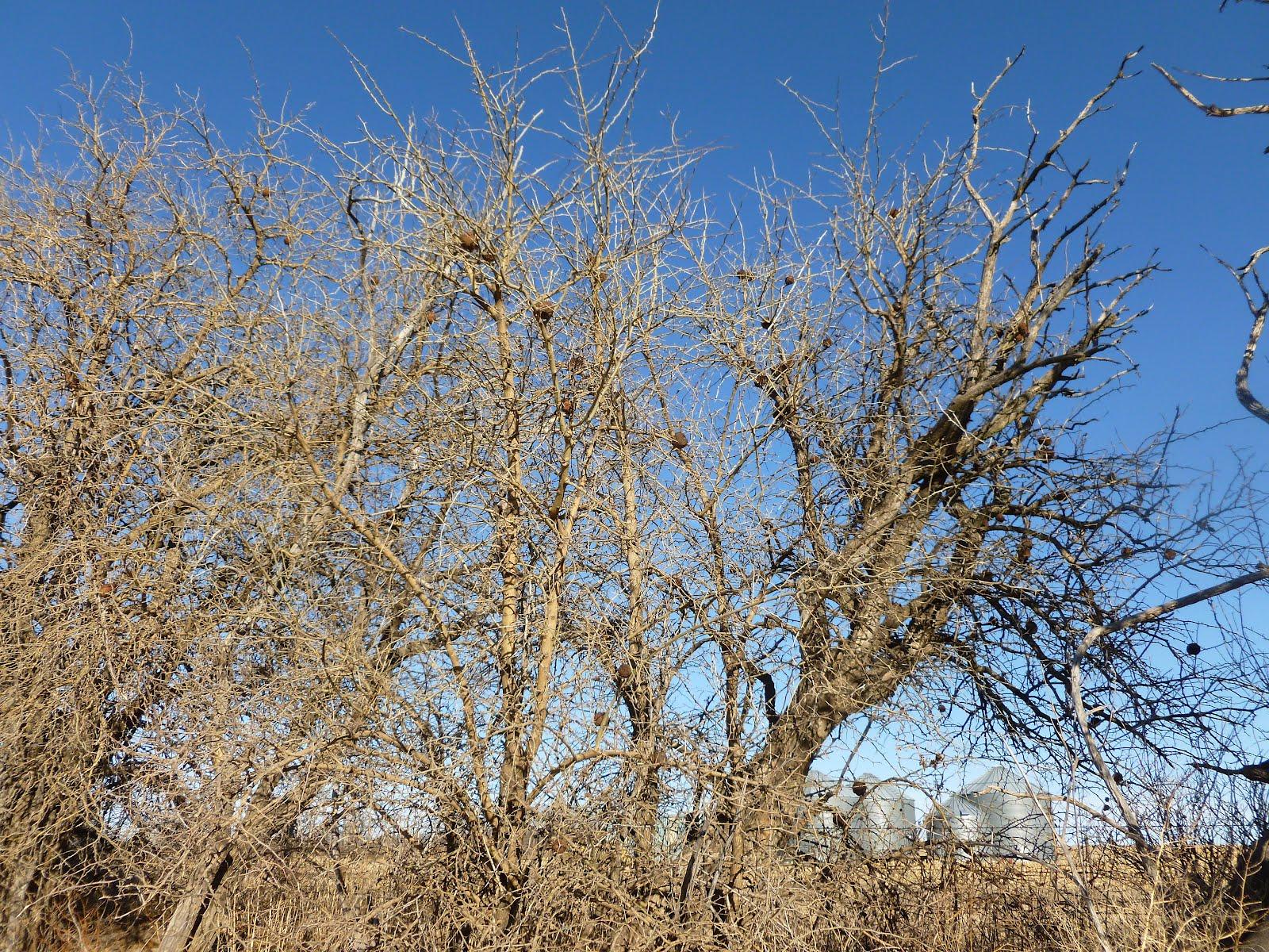 Hedge Trees