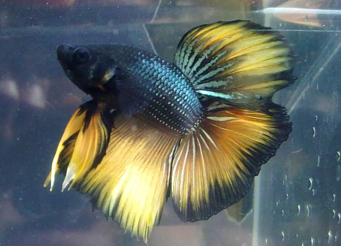 Blue and yellow betta fish - photo#26