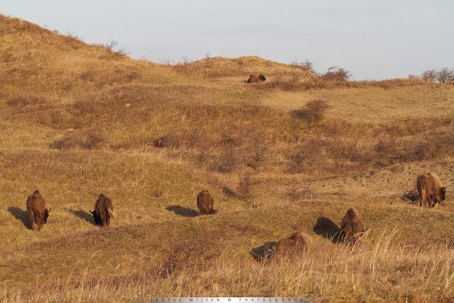Kudde Wisenten in de duinen van waterleiding bedrijf PWN