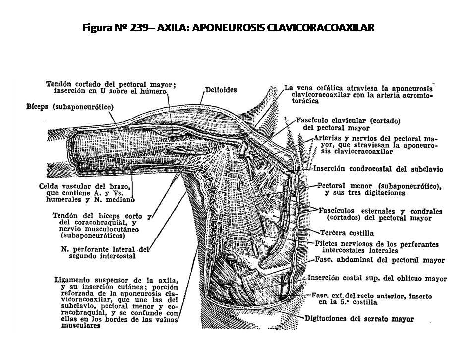 ATLAS DE ANATOMÍA HUMANA: 239. AXILA: APONEUROSIS CLAVICORACOAXILAR.