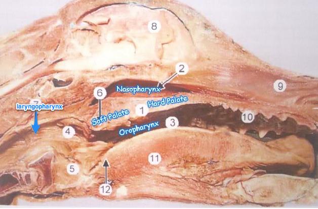 Oropharynx Cat Tongue, hyoid, pharynx...