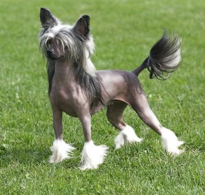 Canil Avalon Land Chinese Crested Dog C 195 O De Crista Chin 202 S