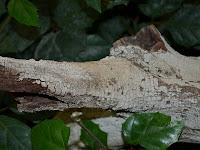 Xylobolus frustulatus