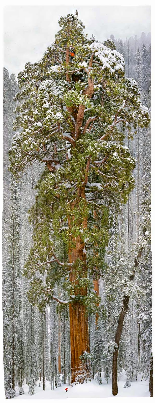 world's largest tree- photo