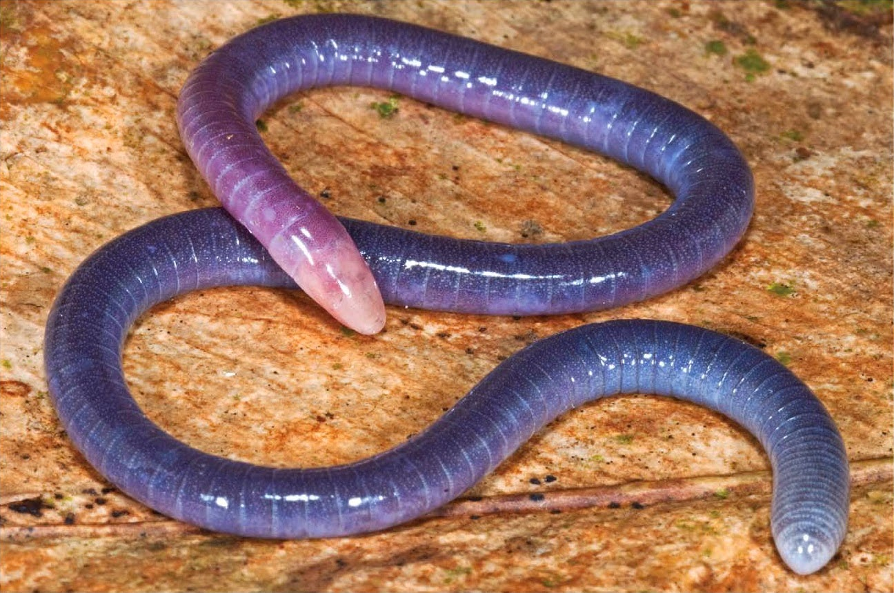 http://sciencythoughts.blogspot.co.uk/2014/05/a-new-species-of-caecilian-from-french.html