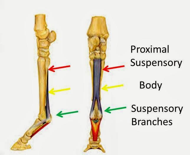 Michael Porter, Equine Veterinarian: Hind Limb Proximal Suspensory ...