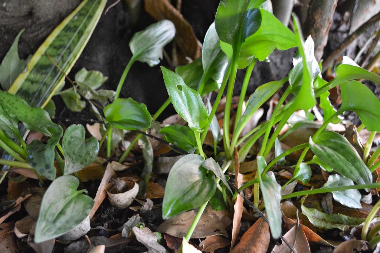Drimiopsis Maculata- Manchas negras