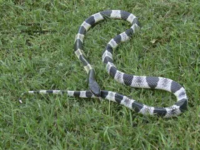 As 5 cobras mais venenosas do mundo