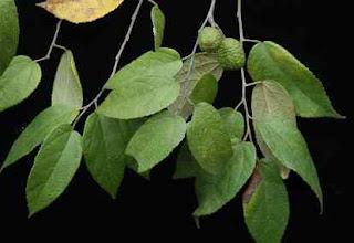 Obat herbal menurunkan berat badan dengan daun jati belanda