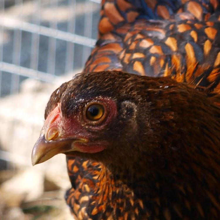 Guldrandet dværg-wyandot som stor kylling