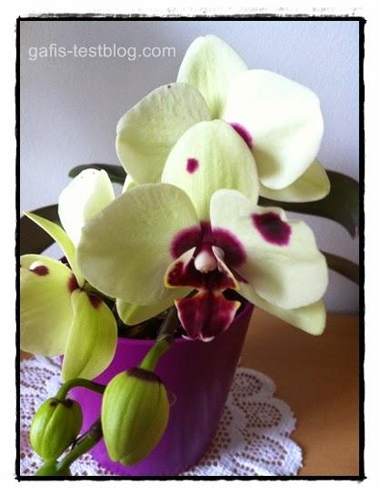Orchidee in der Blüte