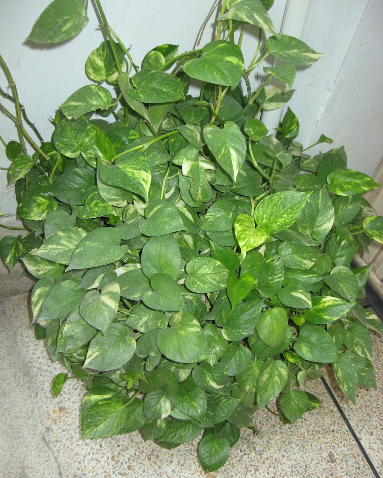Mashal E Rah Money Plant