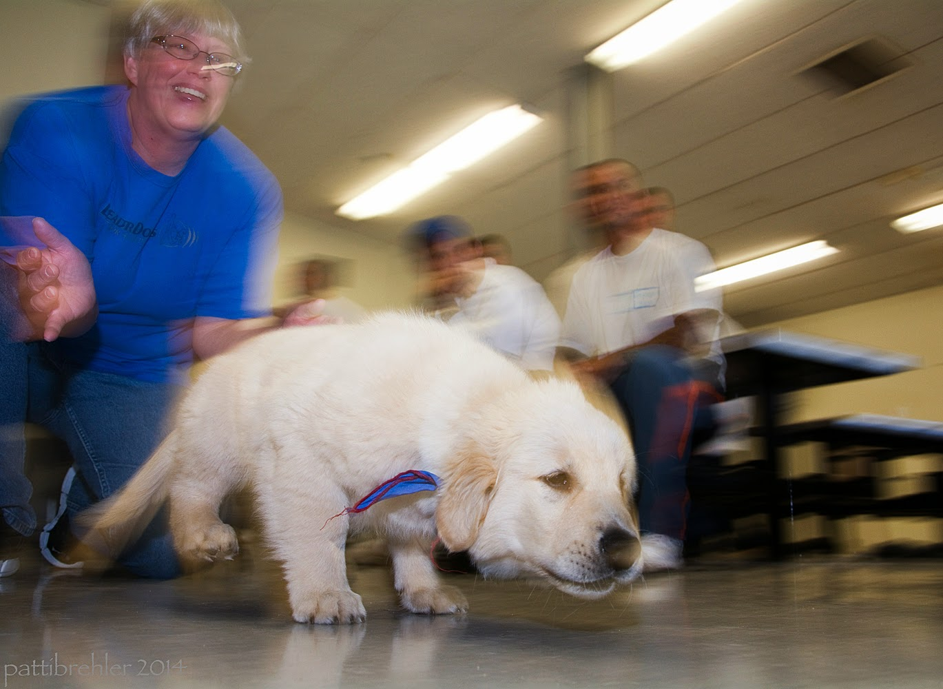 A floor-level blurred shot of a small golden retriever puppy digging in to run from left to right. A woman wearing a blue t-shirt and glases has just let the pup go - she is on her knees and her hands are spread out. There are several men in the background sitting on lunch table stools. The puppy's rear legs are off the floor and his head is low looking to the right.