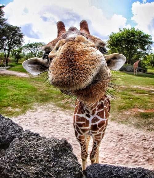 Funny giraffe nose picture