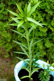 Crinul imperial (lilium regale)