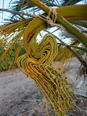 Date Palms (Phoenix dactylifera): Method of tying inflorescence to branches