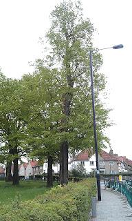 Ulmus Glabra - English Elm