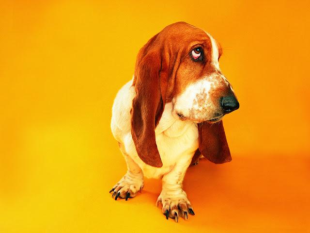 funky, funny basset hound