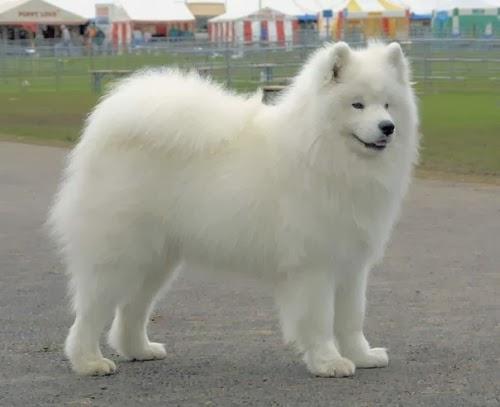 Big Fluffy White Dog Rescue