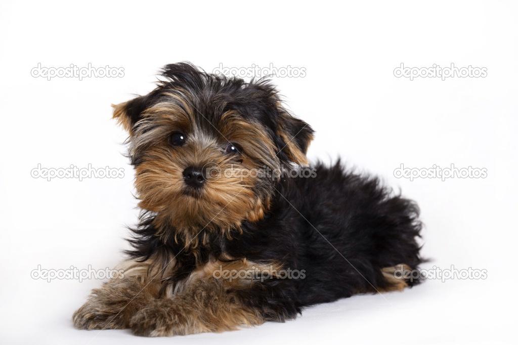 Miniature Shih Tzu Puppies | newhairstylesformen2014.com Miniature Schnauzer Utah