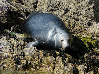 Grey Seal, Llyn Peninsular