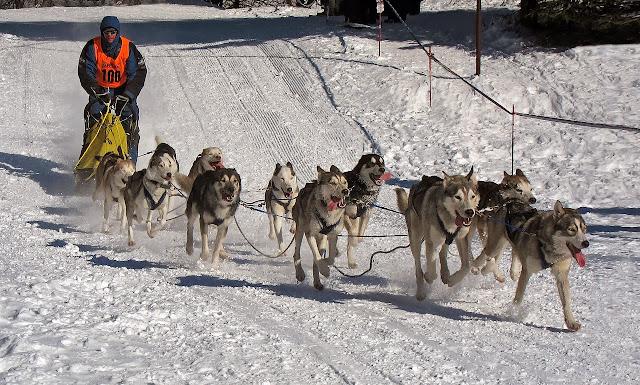 Carrera de trineos tirados por perros.