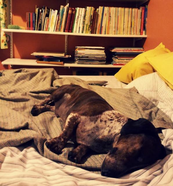 lazy little willie the dachshund sleep on the futon