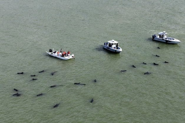 As baleias-pilotos estão em uma região rasa, com muitos bancos de areia. Crédito: AP