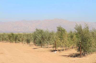 Olive Trees North of Niland