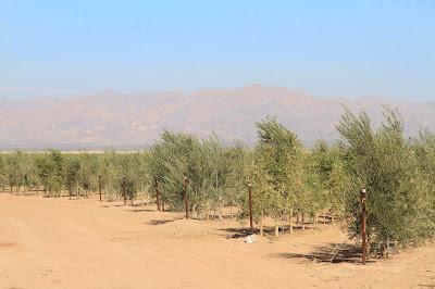Olive Trees North of Niland