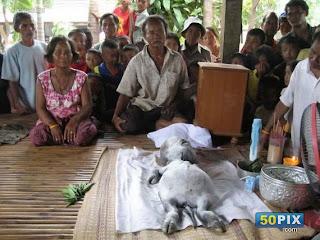 بقرة تلد صغيراً برأس طفل وجسم حيوان تثير الذعر في تايلاند!