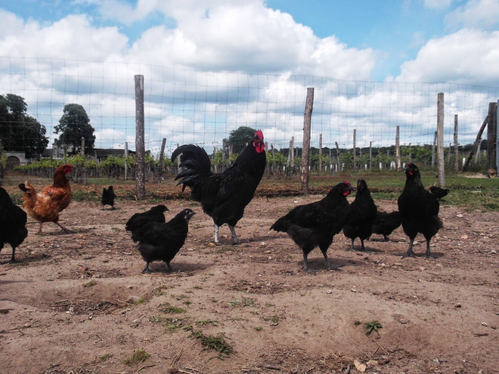 Des poules et des vignes bourgueil traitement de la vigne for Traitement pour les poules