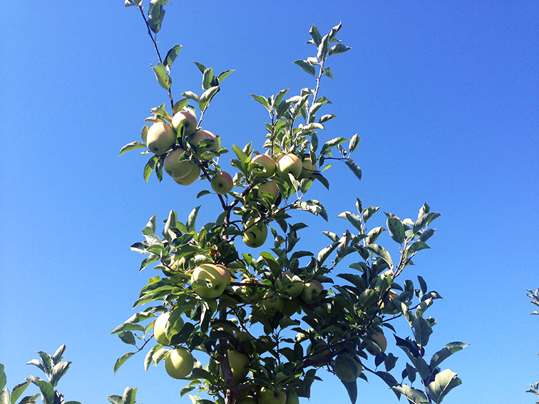 Golden delicious apple tree, fall, bright blue skies