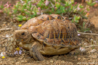 Tent Tortoise
