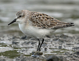 Semi Palmated Sandpiper (photo Library)