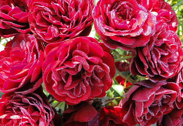 Dewdrops Roses Carpathians Ukraine
